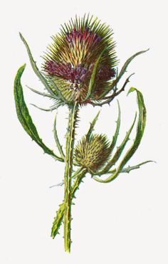 Free Digital Flower Clip Art: Wildflower Graphic of Purple Teasel