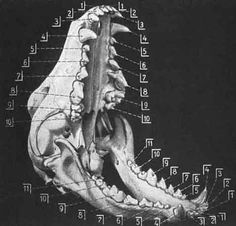The thylacine was the largest known carnivorous marsupial of modern times. It is commonly known as the Tasmanian tiger or the Tasmanian wolf. Tasmanian Tiger, Dental Art, Extinct Animals, Cryptozoology, Australian Animals, Animal Skulls, Skull And Bones, Animals Of The World, Wildlife Art