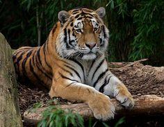 Tiger di Britta Gerken