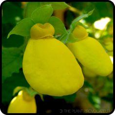 Calceolaria tomentosa floral profile
