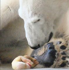 Amazing - just after birth of a polar bear, so very small. Phot by Julio Gil-morte Arroyo.