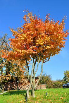 """Der Eisenholzbaum wird gerne aufgeastet und als Formschnittgehölz geformt. So macht er Sommer wie Herbst eine """"gute Figur""""."""
