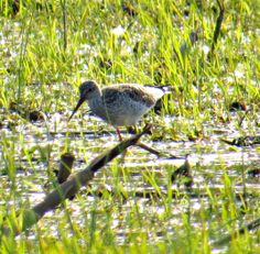 Greater Yellowlegs: 24 April 2014, 4:30 p.m., Northumberland County, VA, 65 degrees, slight breeze, in flooded field on road near entrance to Hughlett Point Park