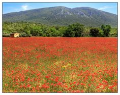 A field of poppies in the Luberon, France