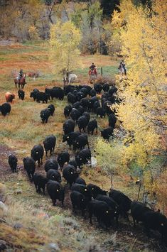 Pictures of cattle drive