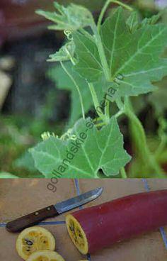 Кассабанана (Sicana odorifera) 10 семян Кассабанана — лиана длиной до 15 м с волосатыми обогнуто-сердцевидными листьями до 30 см длиной. Плод эллиптический, слегка искривлённый, 30-60 см длиной и 7-11,25 см шириной. Кора плода гладкая, глянцевая, имеет оранжево-красную, тёмно-бордовую, тёмно-фиолетовую или чёрную окраску. Внутри содержится оранжево-жёлтая или жёлтая сочная мякоть. В центре плода имеется мягкое мясистое ядро с многочисленными плоскими овальными семенами 16 мм длиной и 6 мм…
