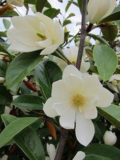 fairy magnolia hedge