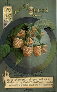 """The 'Golden Queen' raspberry. Plate from """"The Canadian Horticulturist"""" via indigo dreams Vintage Diy, Vintage Farm, Vintage Labels, Vintage Ephemera, Vintage Paper, Vintage Postcards, Vintage Images, Posters Vintage, Vintage Prints"""