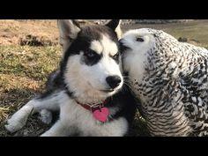 Pöllö ja husky-koira näyttävät videolla, että ystävyys voi todella rikkoa rajoja | Nainen.com