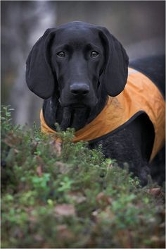 Beautiful GSP, 5 months old. By Timo Laaksonen. Another great looking dog!!