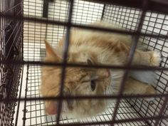Petango.com – Meet 24407369, a 2 years Domestic Longhair / Mix available for adoption in TAMPA, FL