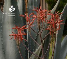succulent, agave, aloe, hummingbirds, pollinators