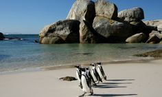 penguins crossing the sandy beach at boulders in south africa African Penguin, African Safari, Boulder Beach, Safari Holidays, Best Family Vacations, Best Cities, Cape Town, New York Times, Yorkie