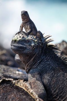 A hatchling marine iguana sits on the head of an adult at Cape Douglas, on the island of Fernandina – two of the stars of the BBC's new series Planet Earth II. Marine iguanas are unique to the Galapagos islands. They are the only lizards to forage algae from the sea – an adaptation to life on a barren, volcanic island. Amazing shot.