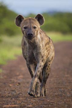 Spotted Hyena (Crocuta crocuta) in the South of Satara, Kruger National Park…
