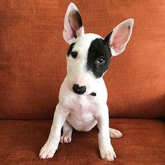@whatjunoaboutme those ears  #bullterrierpics #bullterrier #ebt #bullie #bullterrierinstagram #bullterrierlove #bullterrierstyle #englishbullterrier #dogs #bullterriersofinstagram #bullterriers #dog #bullterrierlife #bullterrierworld #puppy #bullterrierpuppy #englishbull #perro #englishbullterrierpuppy #ebtpuppy #ilovebullterriers #ilovedogs #doglife #dogstagram #dogsofinstagram #doglovers