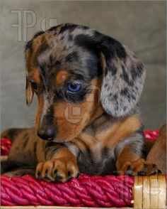 Google Image Result for http://www.featurepics.com/FI/Thumb300/20071029/Dapple-Dachshund-Puppy-502339.jpg