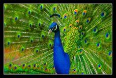 'Peacock' - an English poem.