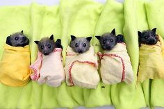 baby bats rescued after floods in australia