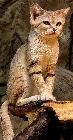 If you are a regular to our page you will know that I love sand cats. They are such beautiful creatures and this one is particularly stunning!