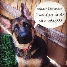 The German Shepherd    (Sydney)