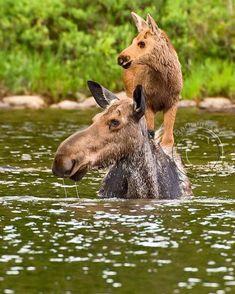 A Mamas love ❤️ - animals so cute - Animals Wild Moose Pictures, Cute Animal Pictures, Amor Animal, Mundo Animal, Nature Animals, Animals And Pets, Beautiful Creatures, Animals Beautiful, Cute Baby Animals