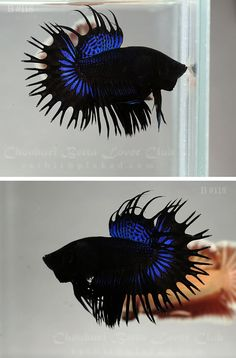 Beautiful Blue and Black Crowntail Betta