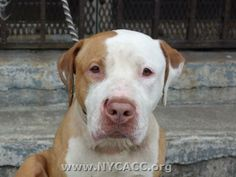 URGENT! THIS DOG WILL BE EUTHANIZED UNLESS A HOLD IS PLACED ON HER BY NOON EST 6/26/14.  LOG IN TO THE AT RISK LIST TO PLACE A HOLD AND SAVE A LIFE.  http://nycacc.org/PublicAtRisk.htm......................Brooklyn Center  My name is VICKY. My Animal ID # is A1002369. I am a female tan and white pit bull and bullmastiff mix. The shelter thinks I'm about 4 years old.