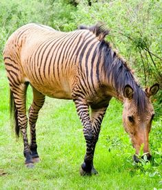 A zorse is a cross between a female horse and a male zebra. These beautiful mammals look similar to a horse, however, they carry stripes throughout their body just like zebras. There are other zebroids that are similar hybrids to the zorse, including zedonks or zonkeys, which are a zebra mixed with a donkey, and the zony. The zorse isan all-around docile and friendly creature.