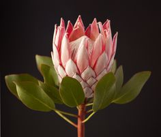 Pretty in pink #protea #flower