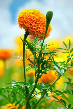 Picture of Marigolds (Tagetes erecta, Mexican marigold, Aztec marigold, African marigold) stock photo, images and stock photography. Amazing Flowers, Beautiful Roses, Pretty Flowers, Beautiful Landscape Wallpaper, Beautiful Flowers Wallpapers, Marigolds In Garden, Planting Flowers, Flower Images, Flower Photos