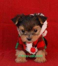 Christmas Puppy :)