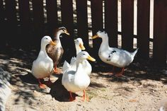 Do you want to build a duck house or coop for your new ducks? Here are 37 of the best free DIY duck house plans we've collected from all over the net. Raising Ducks, Raising Chickens, Welsh Harlequin Duck, Rouen Duck, Duck House Plans, Building A Chicken Run, Duck Breeds, Make Way For Ducklings