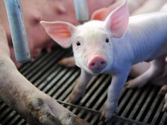 Virusi i derrit shqetëson Europën  Franca pritet të pezullojë importet e produkteve të derrit nga disa shtete, pas shqetësimeve gjithnjë e në rritje për përhapjen e një virusi vdekjeprurës të derrave.