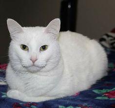 Chapichapochatpapo encore un nouveau chat blanc ! Cats, Animals, White Cats, Gatos, Animales, Animaux, Animal, Cat, Animais