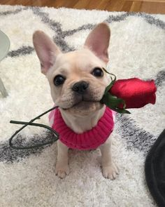 Lucy, the French Bulldog❤❤❤ @lucy.thefrenchie