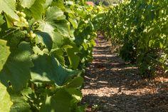 Champagne-Frankrijk-wijngaarden-Epernay-Route de Champagne