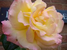 Rose - possibly Peace Rose but...