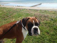 Boxer dog enjoying the view!