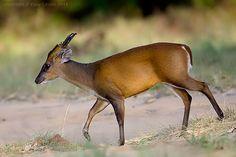 Indian Muntjac (Barking Deer)