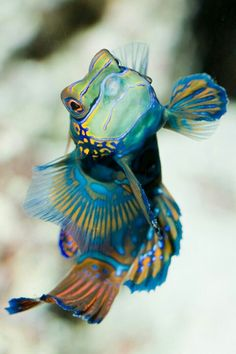 MANDARIN FISH...approximately 4 inches long...found in the Indio-Pacific Ocean...true name is Mandarin Dragonet