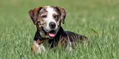 catahoula dog