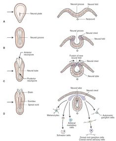 Early embryonic development of the central nervous system. Panels A-D depict early development (at the third and fourth weeks of gestation) in which the neural plate (A), neural groove (B), and neural tube (C) are formed from the dorsal surface of the embryo. The left side of each panel depicts the developing embryo in a dorsal view, and the right side shows cross sections through the nervous system cut at the levels indicated by the arrows. Note also the cells formed from differentiated…