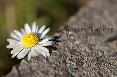 gänseblümchen by klarundeiskalt, via Flickr