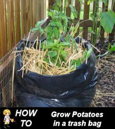 Growing Potatoes in a Trash Bag -