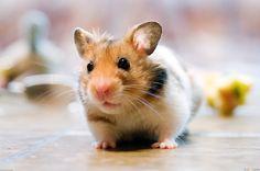 Little Hamster Wallpaper Animals