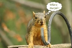 Squirrel Thoughts........ by Indiana Ivy Nature Photographer, via Flickr