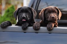Black and chocolate Labrador Retrievers