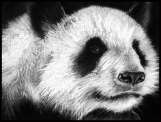 Giant Panda - Population less than 1,600 in the wild Drawing by Sharlena Wood www.sharlenawood.com