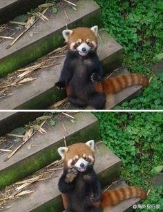 red panda says hi